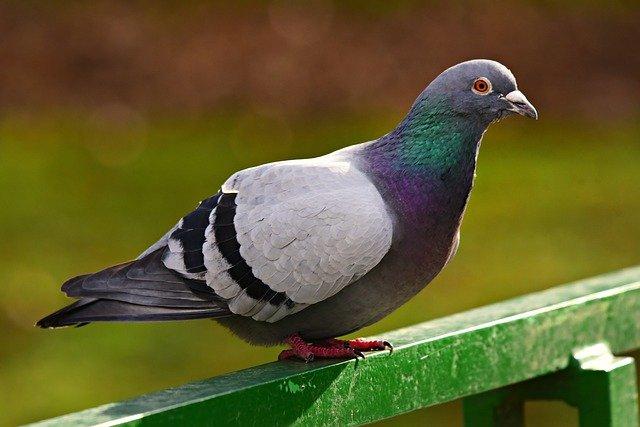 Cómo criar palomas
