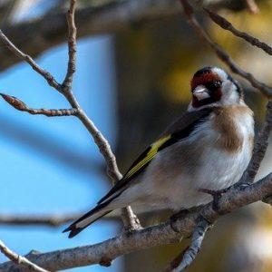 Jilguero común en un árbol