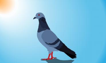 Como cuidar palomas